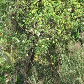 Suicide fruit.